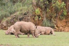 Grupp av noshörningar som ner ligger, och ett av dem som äter gräs Fotografering för Bildbyråer
