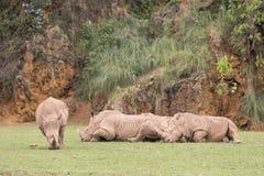 Grupp av noshörningar som ner ligger, och ett av dem som äter gräs Royaltyfri Bild