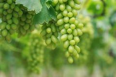 Grupp av nya gröna druvor i vingård Royaltyfria Bilder