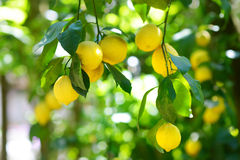 Grupp av nya mogna citroner på en citronträdfilial Royaltyfri Fotografi
