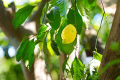 Grupp av nya mogna citroner på en citronträdfilial Royaltyfria Foton