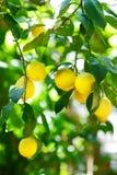 Grupp av nya mogna citroner på en citronträdfilial Royaltyfri Foto