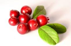 Grupp av nya mogna tranbär eller lingon på vit fotografering för bildbyråer