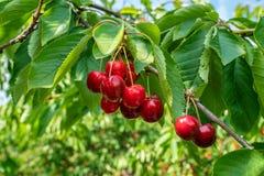 Grupp av nya och mogna körsbär på träd arkivfoto