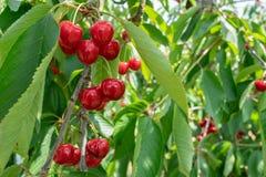 Grupp av nya och mogna körsbär på träd royaltyfri fotografi