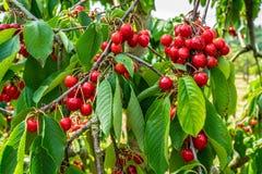 Grupp av nya och mogna körsbär på träd royaltyfria foton