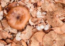 Grupp av nya organiska champinjoner i fast utgiftskott Arkivbild