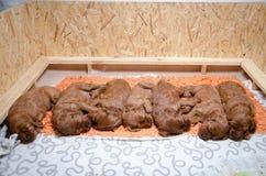 Grupp av nyfödda små valpar av den irländska setter Arkivfoton