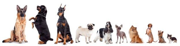 Grupp av olik hundkapplöpning på vit bakgrund royaltyfri foto