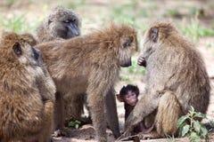 Grupp av Olive Baboons som skyddar en behandla som ett barn Royaltyfria Foton