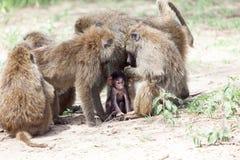 Grupp av Olive Baboons som skyddar en behandla som ett barn Arkivfoto