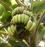 Grupp av omogna gröna bananer Royaltyfri Foto