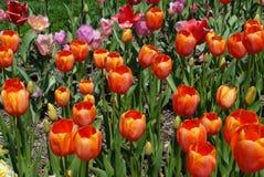 Grupp av orange tulpan i trädgården Arkivbilder