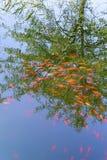 Grupp av orangefärgad koifich i dammet Arkivbild