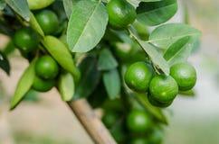 Grupp av organisk limefrukt på träd arkivfoton