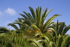 Grupp av Palm ormbunksblad med blåttskybakgrund Royaltyfri Fotografi