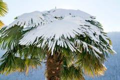 Grupp av palmtrees med snö på den Royaltyfri Fotografi