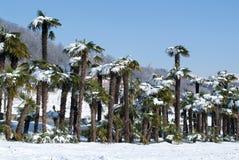 Grupp av palmtrees med snö på den Arkivbild