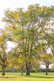 Grupp av pecannötträd på bärvårar Royaltyfri Bild