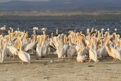 Grupp av pelikan, Pelecanus, på sjön Nakuru Fält av röda vallmo kenya _ arkivbild