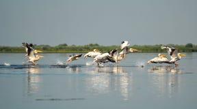 Grupp av pelikan som tar flyg Lös flock av gemensamma stora pelikan som tar flyg Arkivbild