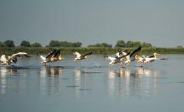Grupp av pelikan som tar flyg Lös flock av gemensamma stora pelikan som tar flyg Royaltyfria Foton