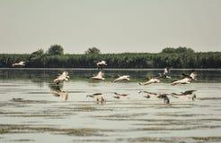 Grupp av pelikan som tar flyg Lös flock av gemensamma stora pelikan som tar flyg Arkivfoton