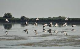 Grupp av pelikan som tar flyg Lös flock av gemensamma stora pelikan som tar flyg Royaltyfria Bilder