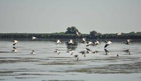 Grupp av pelikan som tar flyg Lös flock av gemensamma stora pelikan som tar flyg Royaltyfri Bild