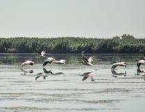 Grupp av pelikan som tar flyg Lös flock av gemensamma stora pelikan som tar flyg Royaltyfri Foto