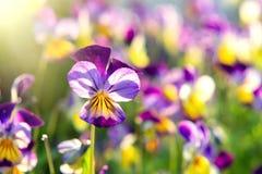 Grupp av perenn guling-violett altfiolcornuta som är bekant som horned pensé eller horned violett royaltyfria foton