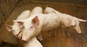 Grupp av pigs Royaltyfri Bild