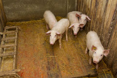 Grupp av pigs Royaltyfria Foton