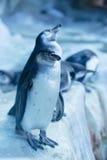 Grupp av pinguins i Ryssland, Moskvazoo Arkivfoto