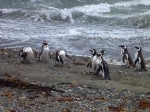 Grupp av pinguins på en kust i otway reservation för seno i chile Arkivbild