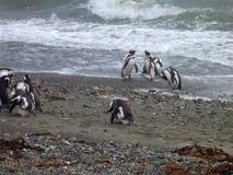Grupp av pinguins på en kust i otway reservation för seno i chile Arkivbilder