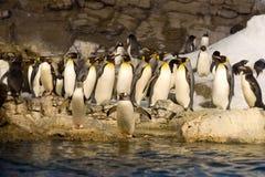 Grupp av pingvin royaltyfria foton