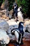 Grupp av pingvin Arkivbild