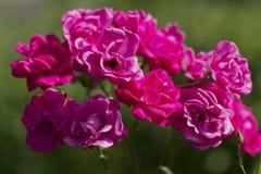 Grupp av pinkträdgårdro Royaltyfri Bild
