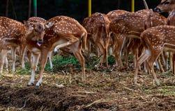 Grupp av prickiga Deers Royaltyfri Bild
