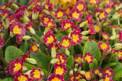 Grupp av primulaVeris växter Royaltyfria Foton