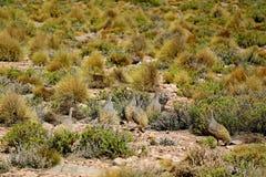 Grupp av Puna Tinamou fåglar som betar i den Puna grässlätten av den Eduardo Avaroa Andean Fauna National reserven, Potosi, Boliv royaltyfria bilder