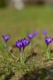 Grupp av purpurfärgad krokus Royaltyfria Foton