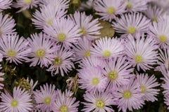 Grupp av purpurfärgade blommor Royaltyfri Bild