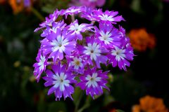 Grupp av purpurfärgade och vita blommor royaltyfri illustrationer