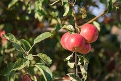 Grupp av röda äpplen på ett träd royaltyfri fotografi