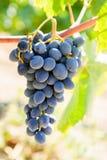Grupp av röda druvor på vinranka i varmt eftermiddagljus Royaltyfri Fotografi