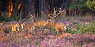 Grupp av röda hjortar arkivfoton