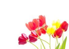 Grupp av röda och gula tulpan på en vit bakgrund Royaltyfria Bilder