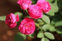 Grupp av röda rosor i trädgården Royaltyfria Bilder